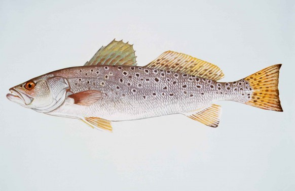 Spotted_seatrout_fish_cynoscion_nebulosus